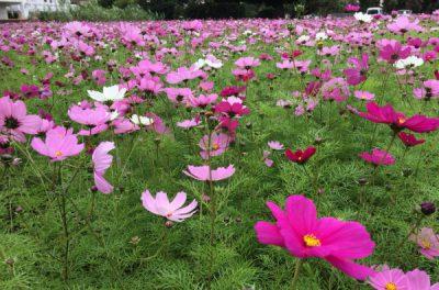 キレイです♪ コスモス畑 ♪(●^o^●) 沖縄県西原町